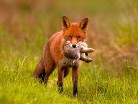 caccia-alla-volpe-in-battuta.jpg